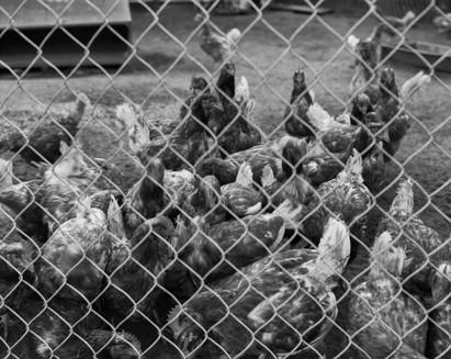 Pecking Order Image 4