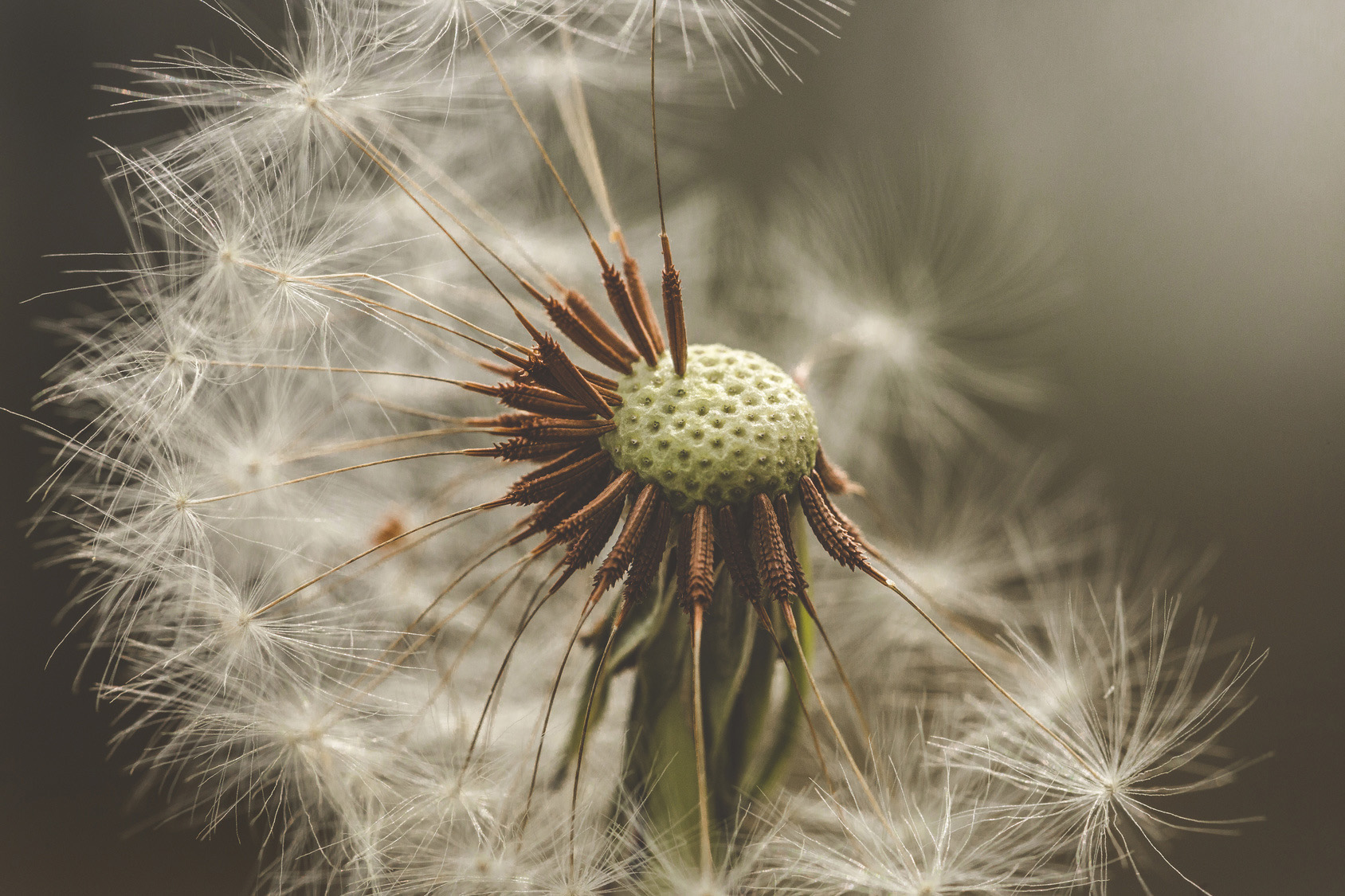 Pusteblume_140663570_Preview