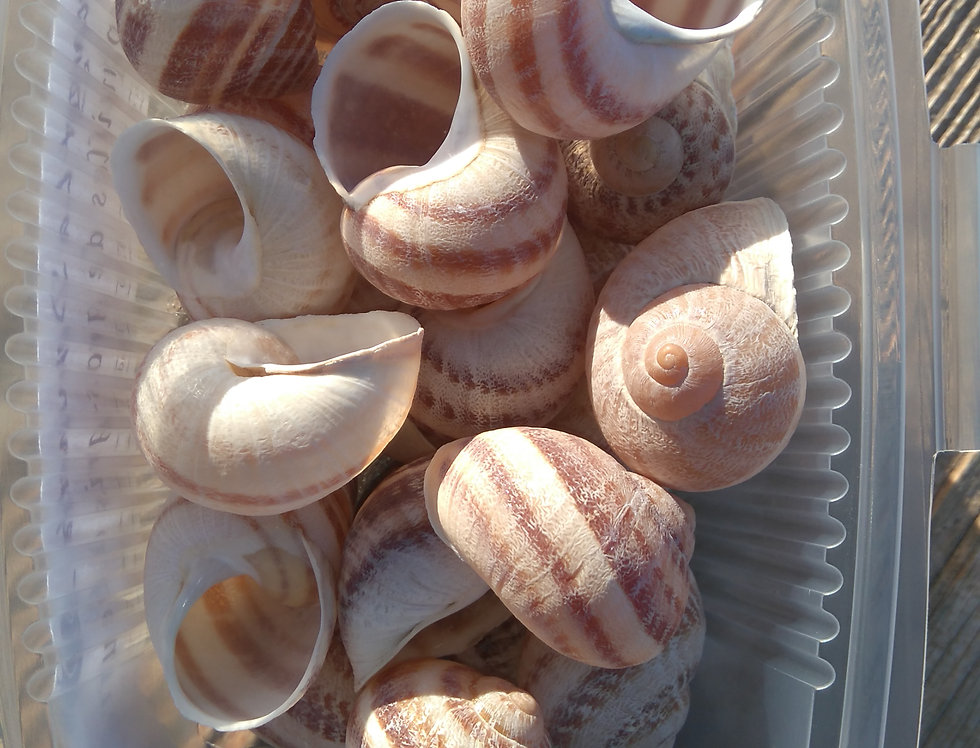 24 coquilles vides pour Escargots à la Bourguignonne 3€00