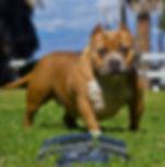 Pocket Bully females,American Bully Breeders, American Bully puppies for sale, American Bullies for sale, Bully Pits