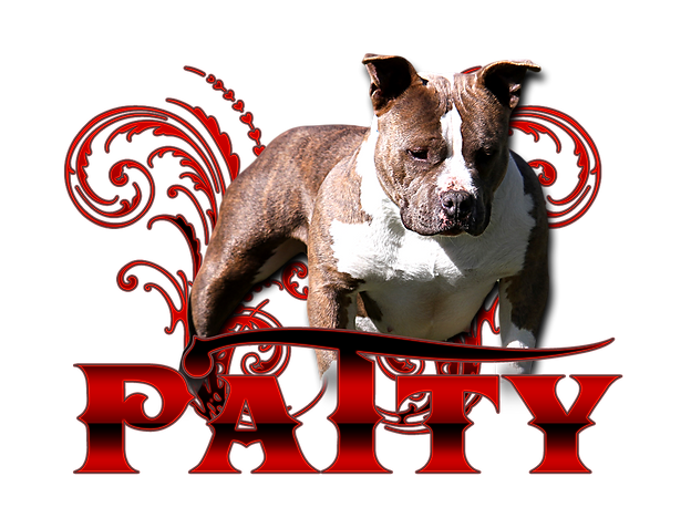 american bully breeders, pocket bullies for sale, pocket bully puppies for slae