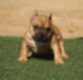 American Bully breeders in California