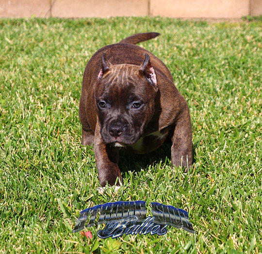 pocket bully puppies for sale strongside bullies pocket bully pitbull puppies for sale 4536