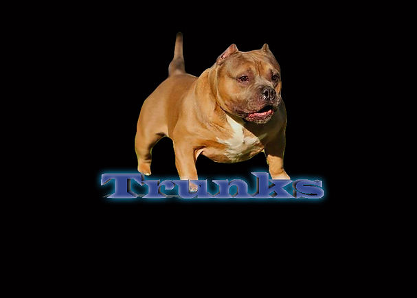 pocket bullies for sale, pocket bully puppies, american bully puppies for sale, american bully