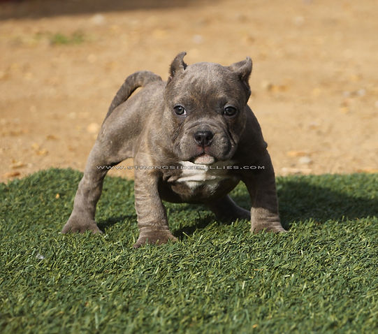 Pocket Bully puppies for sale