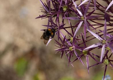 Bee and allium.jpg