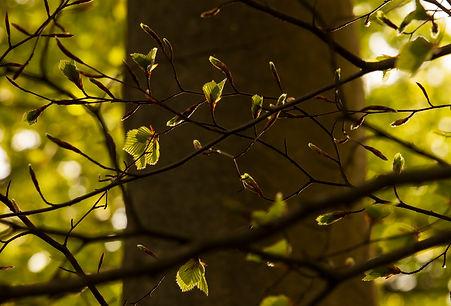 Beech leaves_1.jpg