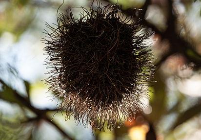 Banksia 2.jpg