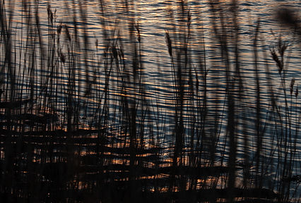 Reeds in the sunset.jpg