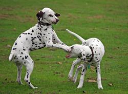 dalmatien-puppy-dog-petit-chiot-images-photos-gratuites-libres-de-droits3