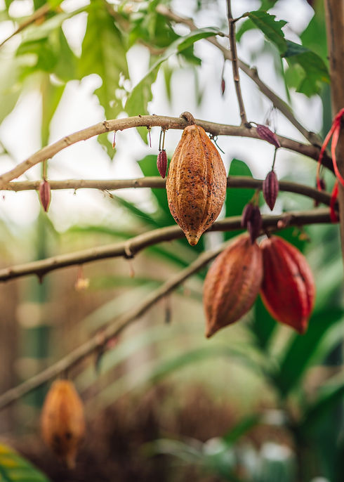 Cacao Tree. Organic cocoa fruit pods in