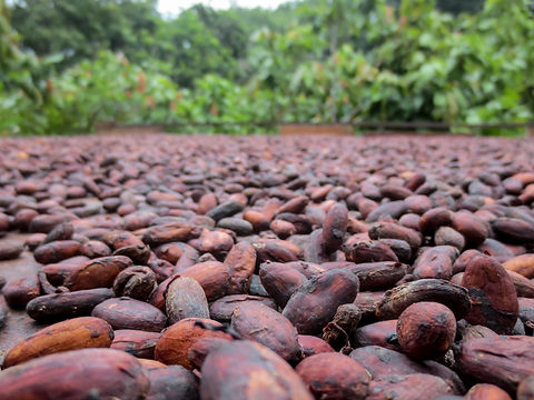 Cacao beans drying at a farm in Latin Am