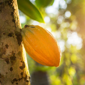 Cocoa fruit hanging on the tree.jpg
