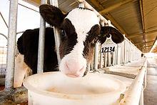 Dairy calf in calf hutch