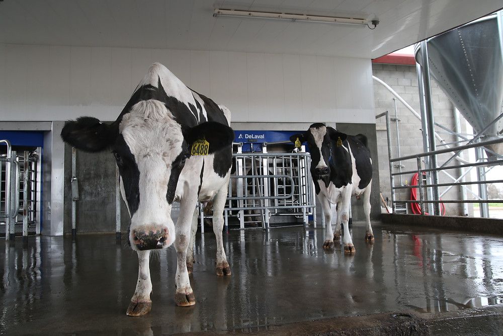 Robotic milking system on a California dairy