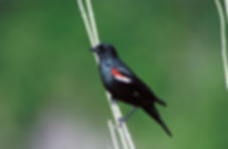 tricolored blackbird is preserved on California dairy farms