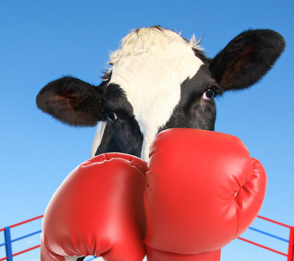 Dairy cow with boxing gloves in boxing ring
