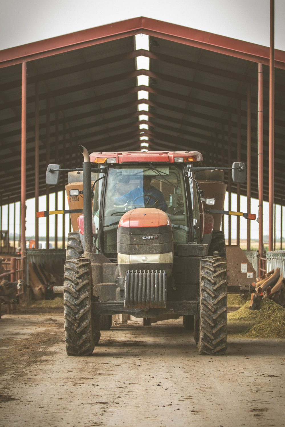 Feed truck delivers total mixed ration on California dairy