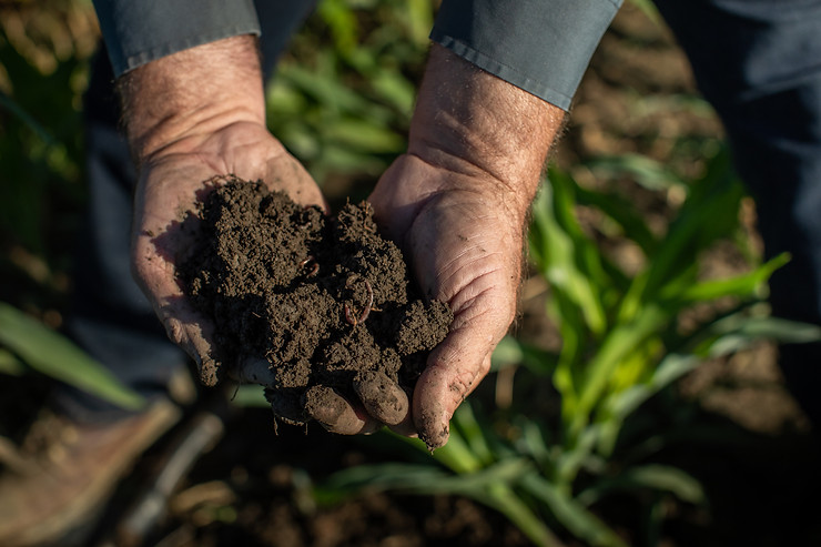 Healthy soil on California dairy farm