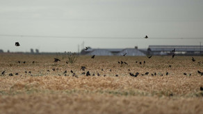 Dairies Protecting Record Number of Tricolored Blackbirds