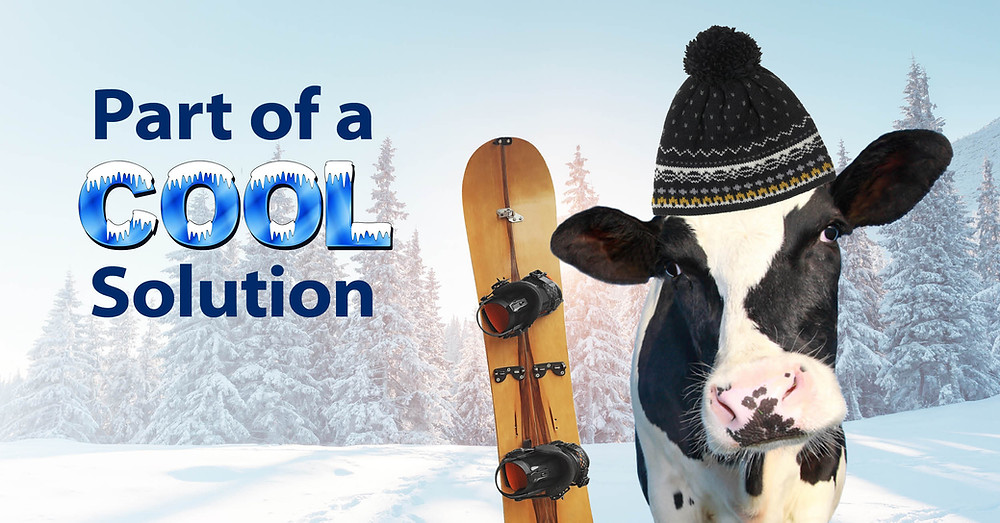 Dairy cow with snowboard, part of climate solution