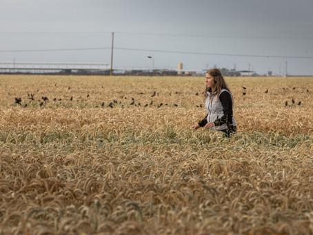 Dairy farms help preserve California's tricolored blackbirds