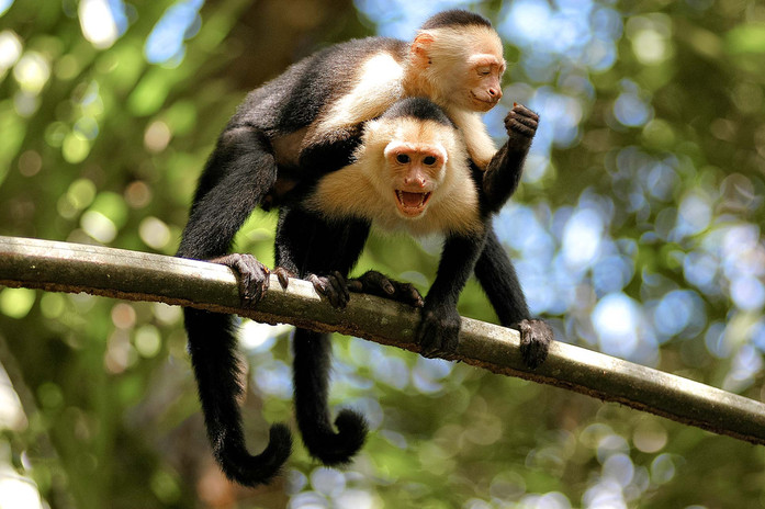 white-face-monkeys-on-branch-tortuguero.jpg