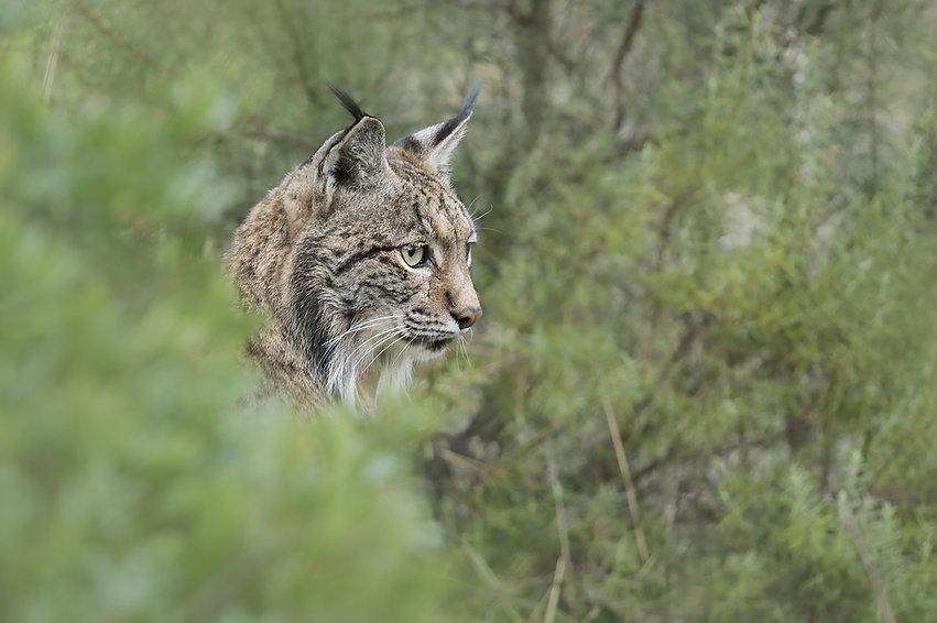 Iberische lynx 9 FB.jpg
