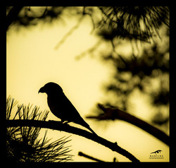 Crossbill-©-Martin-Steenhaut
