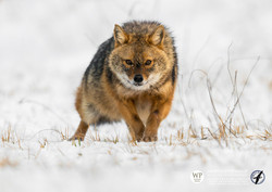©_SKUA_WILDPIX_Ultima_frontiera_jan_2015_Martin_Steenhaut-278