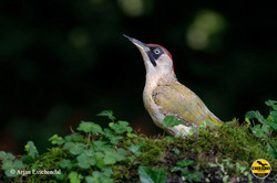 4-european-green-woodpecker-20130805-arjan-esschendal