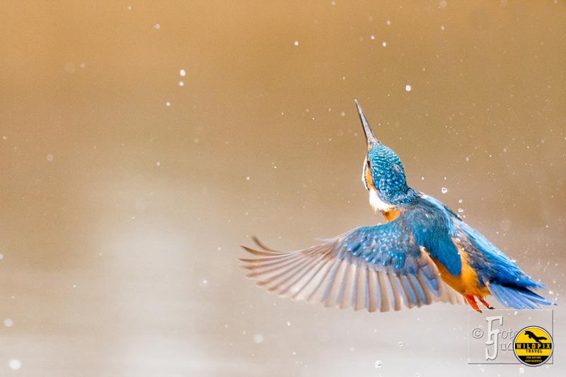 6-IJsvogel---fotojudith