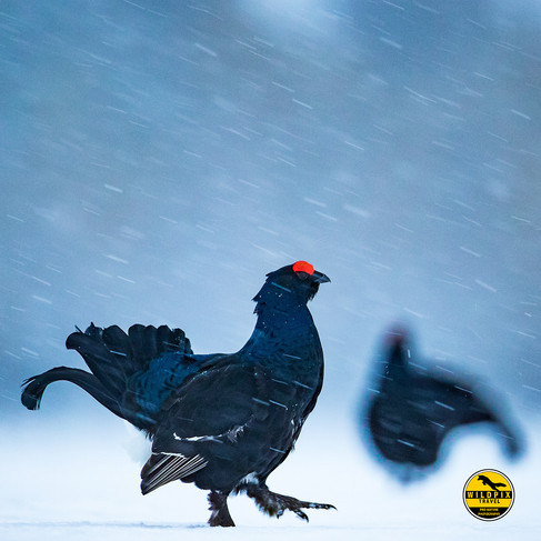 Black-grouse-1-kopiëren.jpg