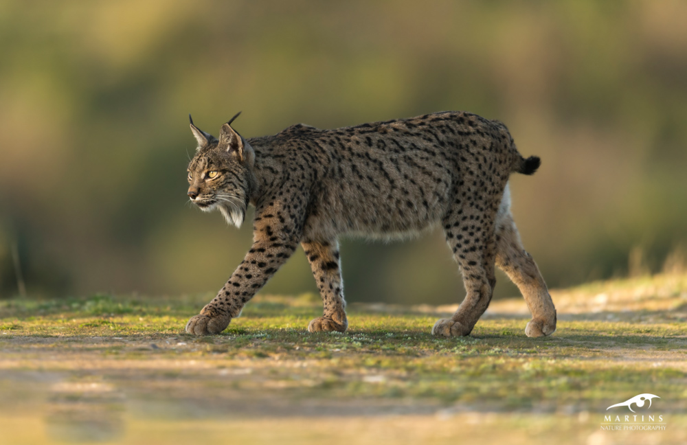 Spanje_Lynx_2016_NG_©_Martin_Steenhaut-5