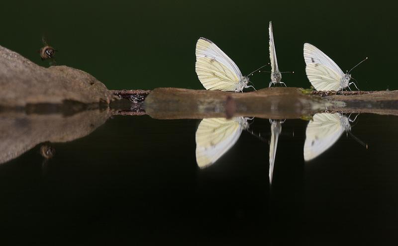 vlinders_HBN0964-kopie