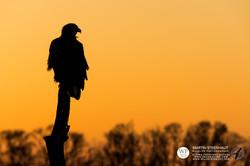 ©_SKUA_WILDPIX_Ultima_Frontera_jan_2015_Martin_Steenhaut_255