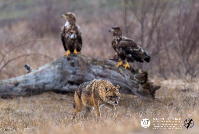 Wildpix_SKUA_Ultima_frontiera_jan_2015_©Martin_Steenhaut_-_Wildpixtravel.com-128