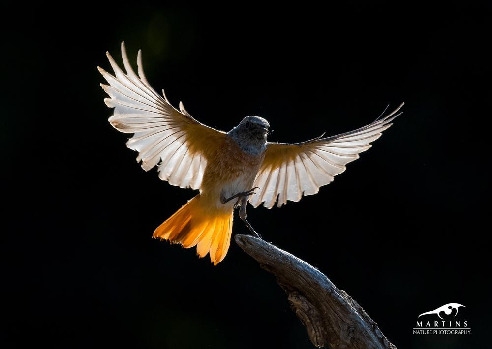 Redstart_backlight_II_v2_©_Martin_Steenhaut_kopiëren
