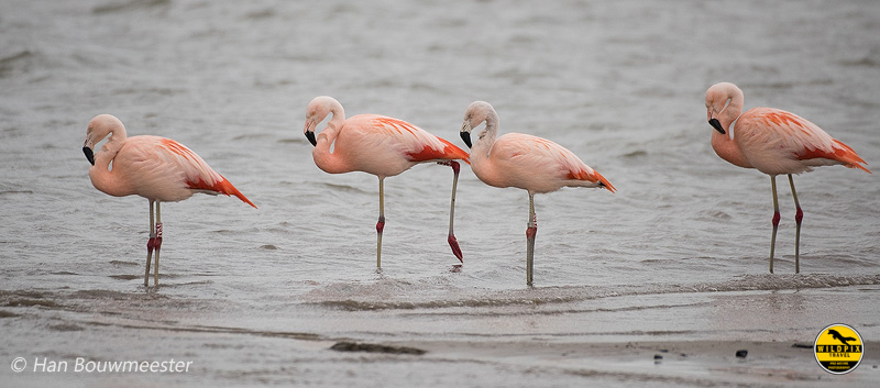 Flamingo-Domelaar_HB29635