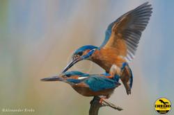 IJsvogelparing-Alex-Krebt-web