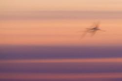 Flamingo-Flight---Contest-2016---©-Martin-Steenhaut