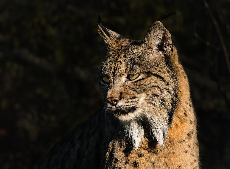 Iberische lynx 28 FB.jpg