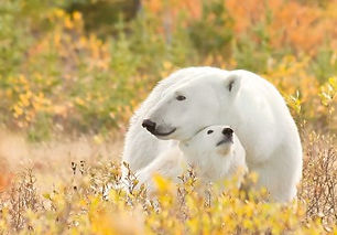 polar bears snuggle.jpg