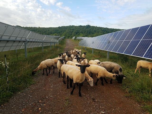 Bedford Solar Farm Lady Sheep.jpg