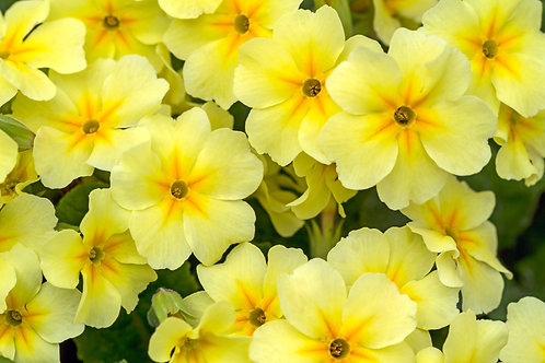 Pale Primroses by Philip Joyner