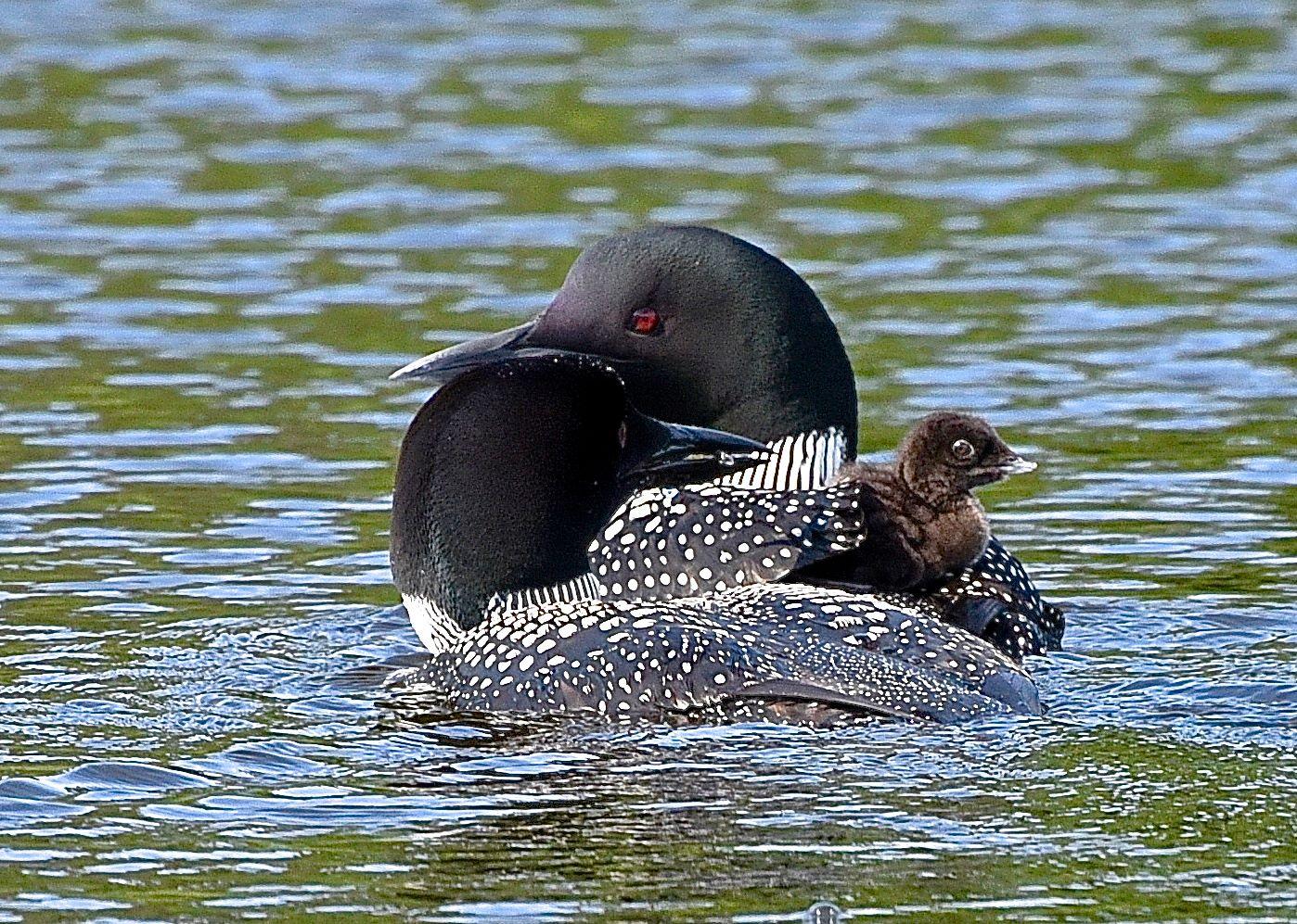 lake loons