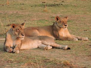 Lions ZCP 1.JPG