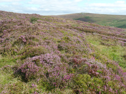 Heather on Challacombe Down