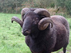One of our Welsh Mountain rams
