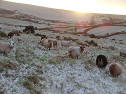 Our hardy sheep